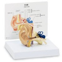 GPI Anatomical #SB27237G